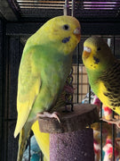 Parakeets For Sale - Allans Pet Center