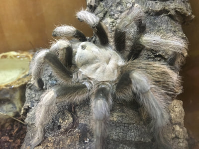 Arizona Blond Tarantula - Allans Pet Center