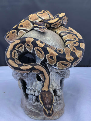 Ball Pythons (Normal Morph) - Allans Pet Center