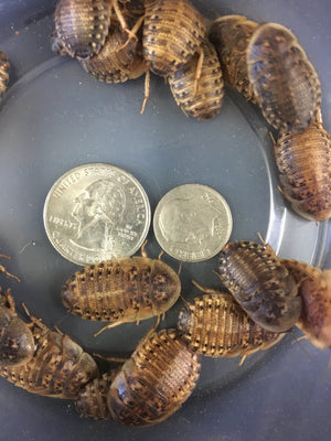 Dubia Roach (large) - Allans Pet Center