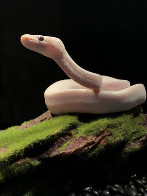 Ball Python Blue-Eyed Leucistic Morph - Allans Pet Center