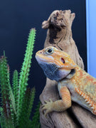 Hypo-Trans-Leather-Dunner Bearded Dragon (66% posible het Zero/witz) - Allans Pet Center