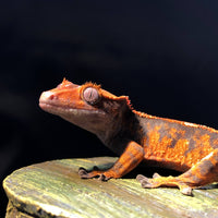 Flame Crested Gecko (Sub-Adults) - Allans Pet Center
