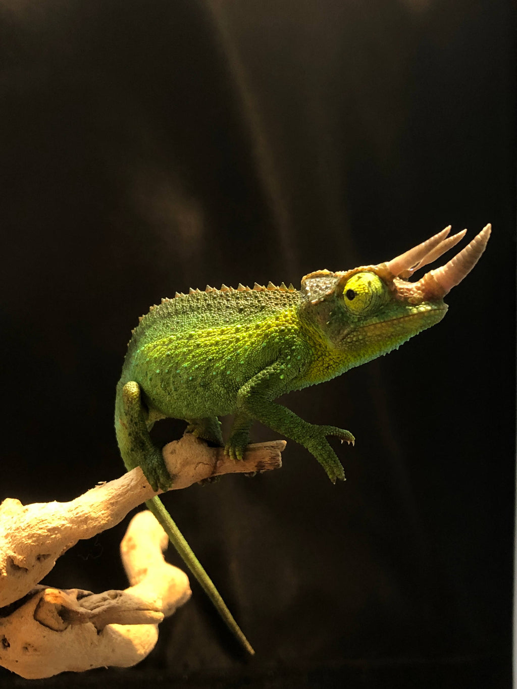 Jackson's Chameleon Baby (Male) - Allans Pet Center