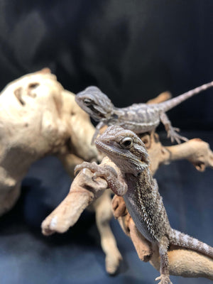Baby Bearded Dragons For Sale - Allans Pet Center