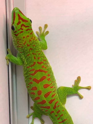 Giant Day Gecko - Allans Pet Center