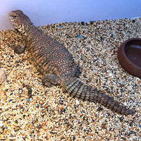 Nigerian Red Uromastyx - Allans Pet Center