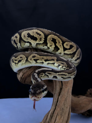 Pewter Ball Python - Allans Pet Center