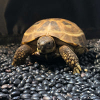 Russian Tortoise - Allans Pet Center