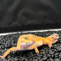 High-Tangerine Leopard Gecko (Female) - Allans Pet Center