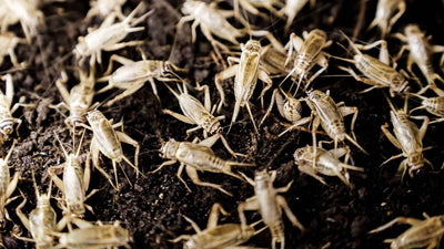 Live Crickets - Allans Pet Center