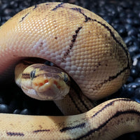 Pastel Pinstripe Ball Python Babies - Allans Pet Center