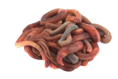 Red Earthworms (1.5-2