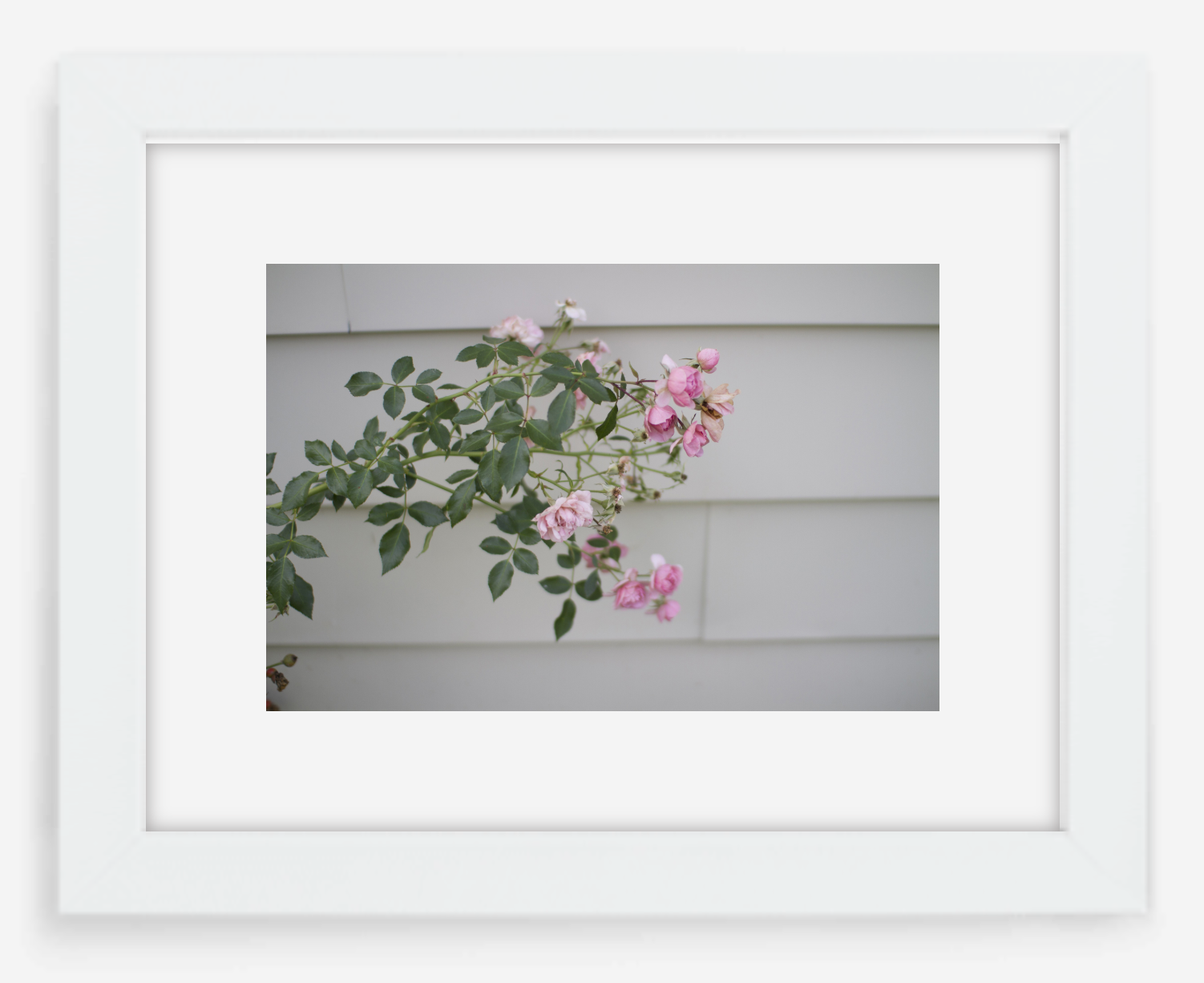 pink rose - 8x12 / gallery white / with mat - 12x18 / gallery white / with mat - 16x24 / gallery white / with mat