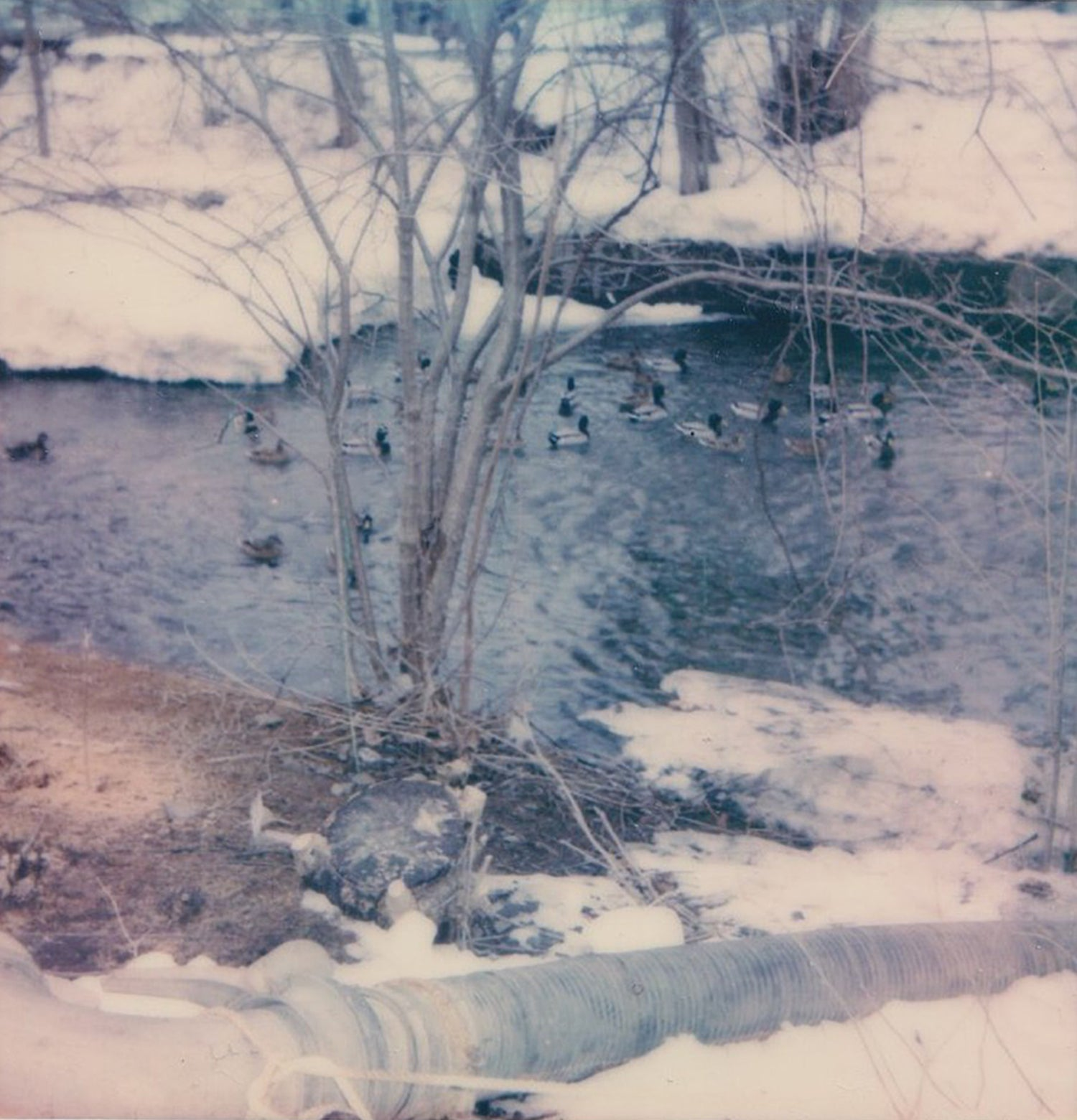 winter ducks - 5x5.2 / No Frame / No Mat