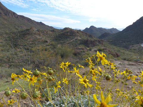 Tucson, Arizona Desert and Yellow Flowers