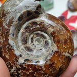 Fully Sutured Chambered Ammonite (#A1)