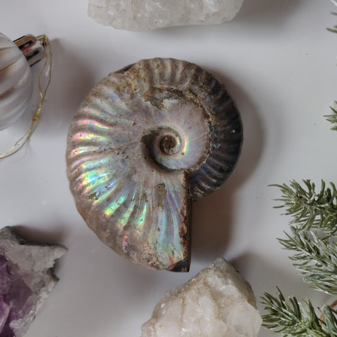 Ammonite, Opalized Ammonite (#11)