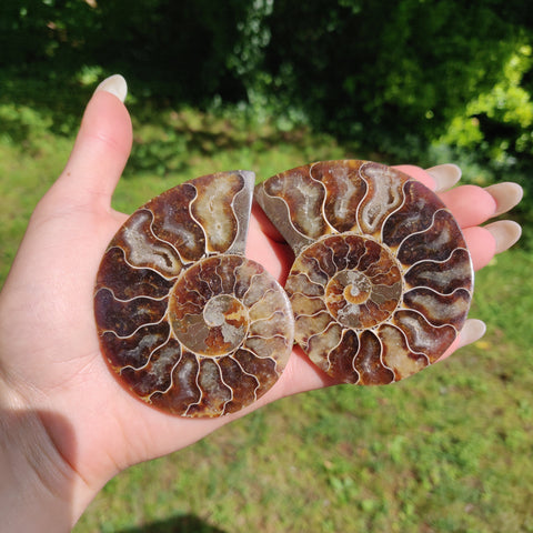 Sliced Ammonite Pair (#1)
