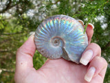 Ammonite, Opalized Ammonite from Simply Affinity