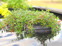 Controlling algae in ponds