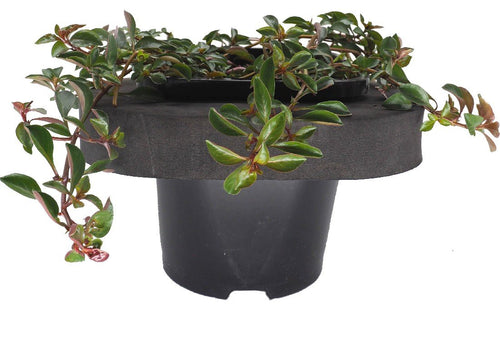 Water Primrose (Ludwigia palustris) 12cm pot and floating ring