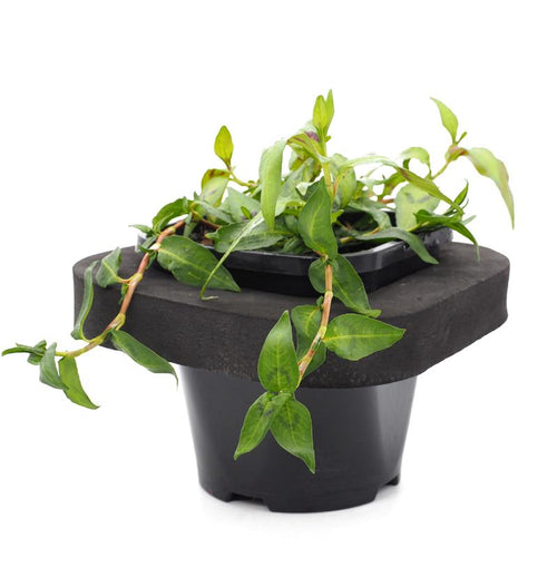 Vietnamese Water Mint (Polygonium odoratum) 12cm pot with floating ring