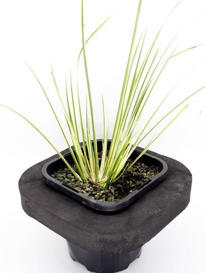 Varigated Sweet Flag (Acorus calamus varigated) 12cm pot with floating ring
