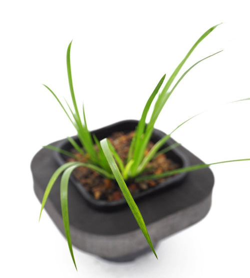 Sweet Flag (Acorus calamus) 12cm pot and floating ring