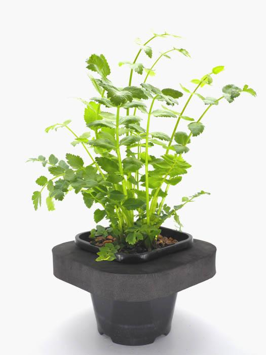 Water celery (Berela erecta) 12cm pot and floating ring
