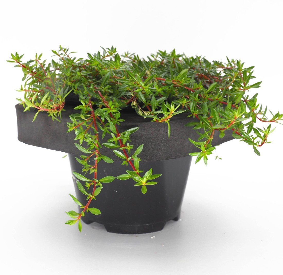 Needle Leaf Ludwigia (Ludwigia acruata) 12cm pot and floating ring