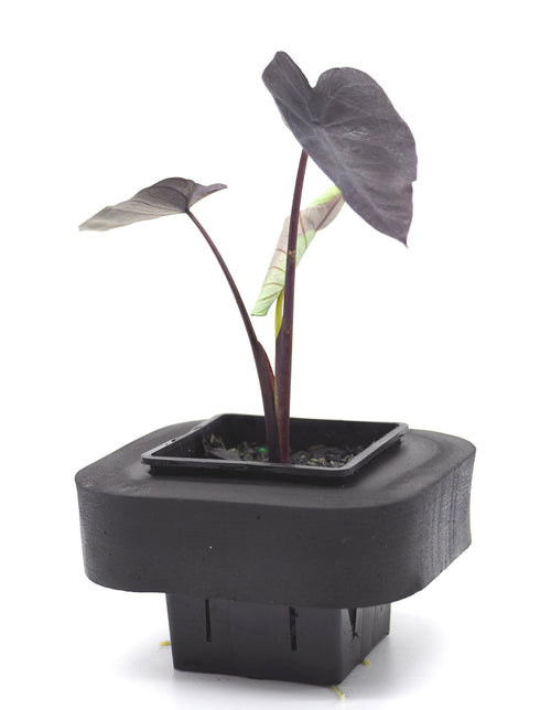 Black Magic Taro (Colocasia esculenta) 7cm pot with floating ring