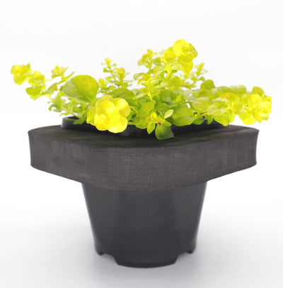 Creeping Jenny (Lysimachia aurea)  with floating ring