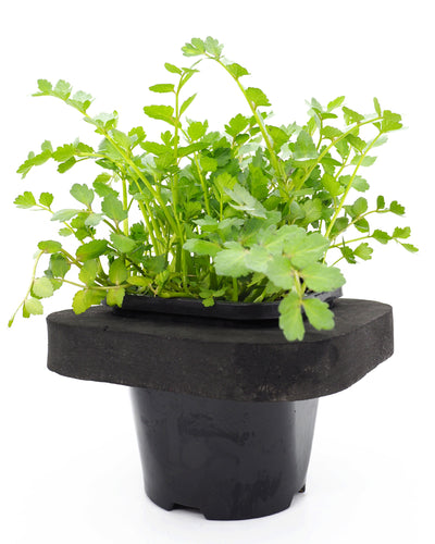 Lebanese Cress (Aethionema Cordifolium)  with floating ring