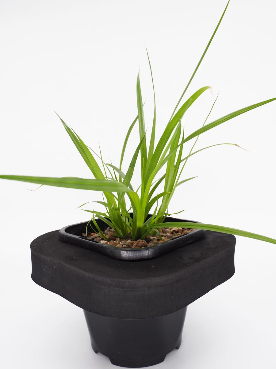 Frog Grass (Carex fascicularis) water plant with floating ring. Provides structure to any pond or water garden