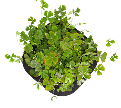 Hairy Nardoo (Marsilea Drummondii) pond plant with floating ring, an edible Australian native water plant