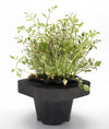 Rainbow Water parsley (Oeanthe Javanica)  with floating ring
