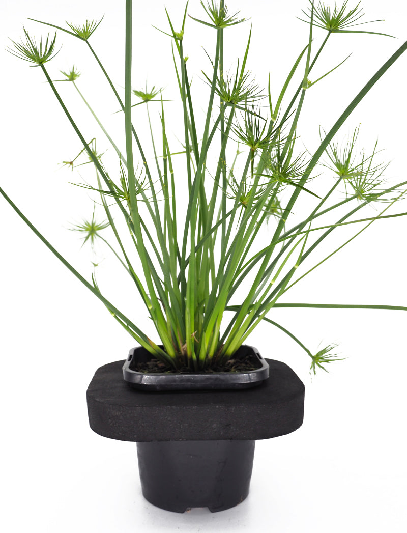 Dwarf Papyrus (Cyperus papyrus nana)  with floating ring