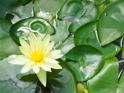 Water lily (Nymphaea water lily) Yellow - corm only