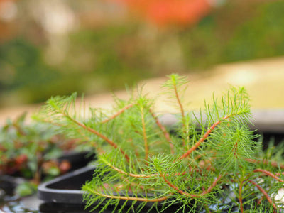 Upright Water Milfoil (Myriophyllum crispatum) pot with floating ring