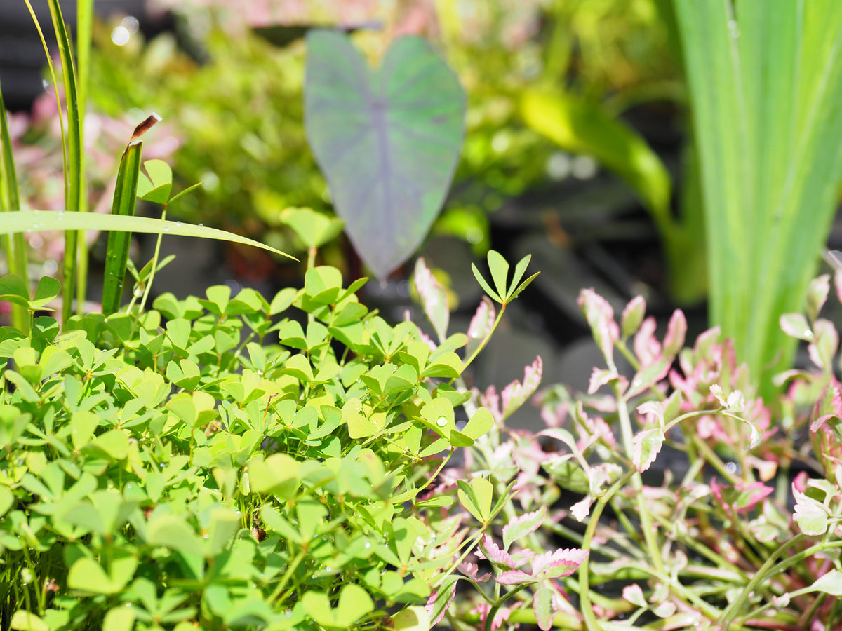 Nardoo (Marsilea Angustifolia)  with floating ring