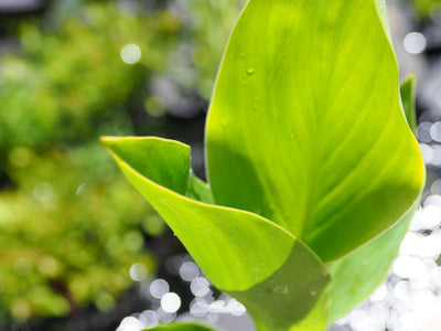 True water canna (Canna glauca) 12cm pot with floating ring