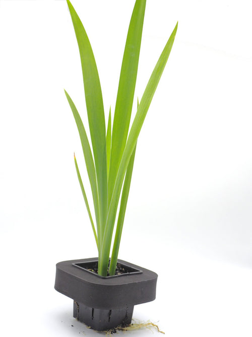 Water Iris (Black game cock) 7cm pot with floating ring