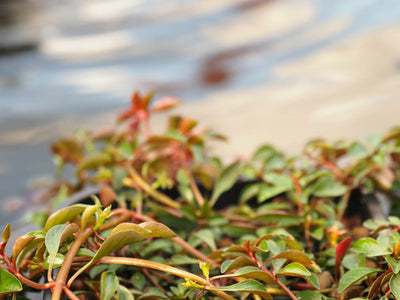 Water Primrose (Ludwigia palustris) pot with floating ring