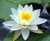 Water lily (Nymphaea water lily) White - corm only