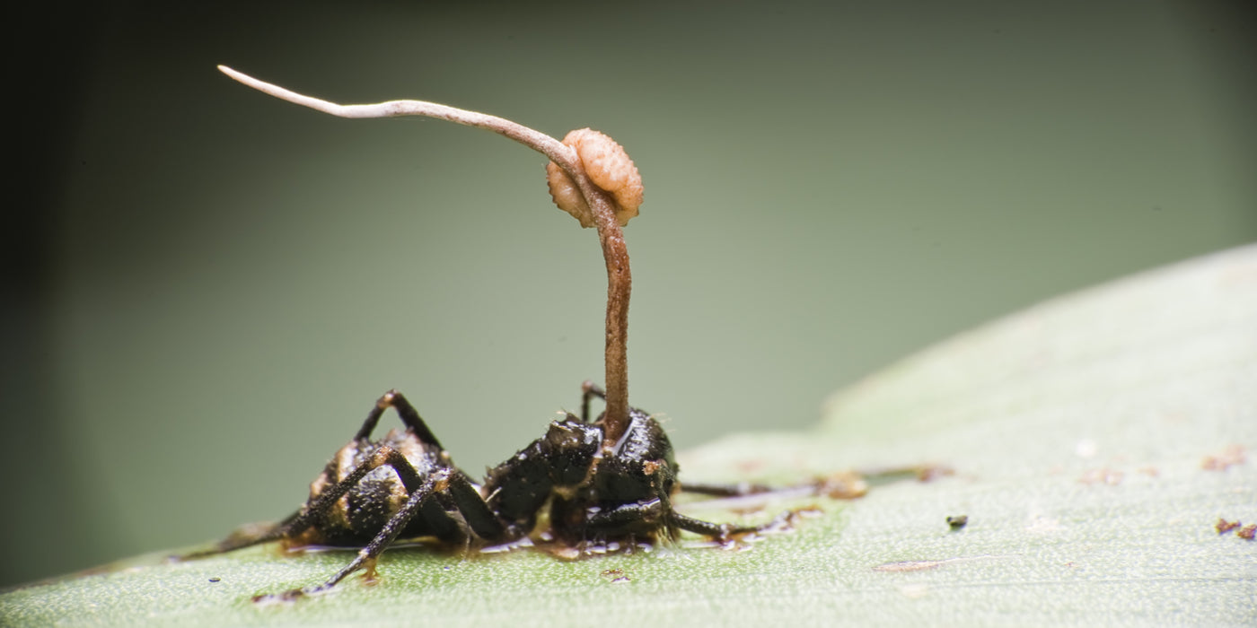 Cordyceps: Killer Fungi Attack | Advanced MycoTech