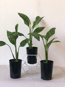 Spathiphyllum 'domino' — small