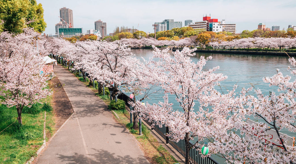 A photo of the beautiful cycling route along the river in Osaka during the cherry blossom season.