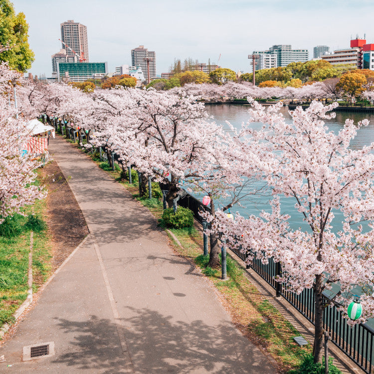 A cycling route along the Oogawa river in Osaka during cherry blossom season.