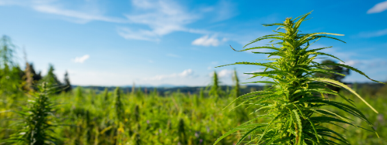 Hemp Oil vs CBD: What's The Difference?